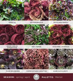 Mayesh Cooler Picks - April - Merlot | top: Cerinthe, Eze ranunculus, fritillaria persica | middle: Grand Jubilee garden rose, pink jasmine, Roseanne lisianthus | bottom: plum hellebores, copper extasis carnation, mixed succulents