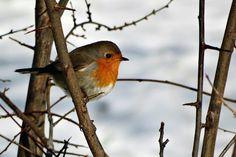 - Robin - - Pixdaus