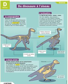 Fiche exposés : Du dinosaure à l'oiseau