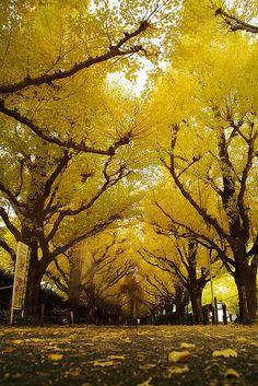 Gingko trees, Tokyo, Japan