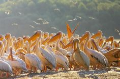 The largest colony of great white pelicans in Europe can be found in Danube Delta Small Wild Cats, Danube Delta, Stuff To Do, Things To Do, Natural World, Beautiful Landscapes, Mother Nature, Traveling By Yourself, The Incredibles