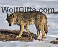 Caspian Sea wolf (Canis lupus cubanensis) x Wolf Spirit, Spirit Animal, Wolf Population, Indian Wolf, Czechoslovakian Wolfdog, Wolf Photos, National Animal, Wild Dogs, Hyena