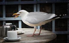 herring gull cream tea