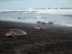 Turtle Tours in Camaronal Costa Rica