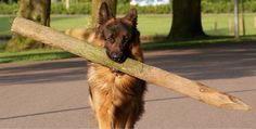 17 Dangerously Alarming Facts About German Shepherds