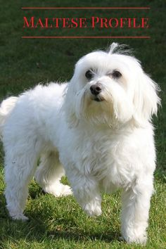 Everything You Need to Know about the Maltese: Looking for a small breed dog that may be perfect for your family? Check out everything you need to know about the Maltese & see if he's right for you!