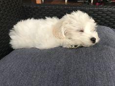 Sisco puppy, bichon havanese