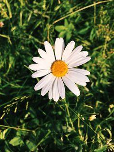 Daisy #daisy #flower #whiteflower #flowerphotography