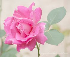 Pink Rose Pictures