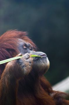 h4ilstorm:  orangutan contemplating life while savoring a bit of leafy goodness (by alan shapiro photography)