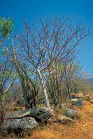 En la franja costera, los cactus y los arbustos espinosos forman parte de la vegetación xerofítica de los bosques secos.