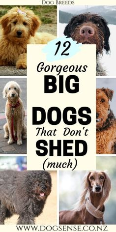 12 Gorgeous Big Dogs That Won't Cover you in Gorgeous Big Dogs That Won't Cover you in Hair Dog breeds. Big dogs that don't shed. 12 gentle giant beautiful teddy bears that won't leave you home looking like a fur ball! Non Shedding Dog Breeds, Low Shedding Dogs, Fluffy Dog Breeds, Calm Dog Breeds, Big Fluffy Dogs, Giant Dog Breeds, Best Big Dog Breeds, Best Big Dogs, Dog Breeds That Dont Shed