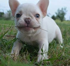 Discover The French Bulldog Dog Personality Lilac French Bulldog, White French Bulldog Puppies, Merle French Bulldog, French Bulldog Clothes, French Bulldogs, Cute Puppies, Cute Dogs, Puppy Backgrounds, Every Dog Breed