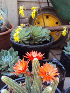 a Collection of cacti with echivaria in the background Cacti, Aloe, Garden Landscaping, South Africa, Succulents, Gardens, Landscape, Flowers, Plants