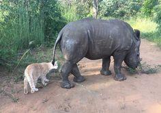 Gato resgatado faz amizade com rinoceronte bebê, e os dois começam uma rotina adorável de apoio um ao outro...