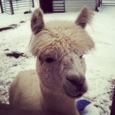 Any takers on starting an alpaca farm?