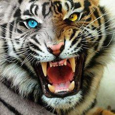 fotos de tigres de bengala - Buscar con Google