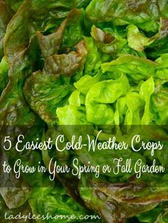 5 easiest cold-weather crops to grow in your Spring or Fall garden. Fast growing, no special soil requirements, easy to plant, can be started early, no pests and useful in the kitchen. #LadyLeesHome
