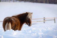 Playing in the snow! Miniature Horses, Farm Life, Fields, Snow, Animals, Animales, Animaux, Animal, Animais
