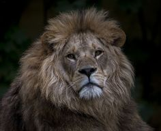 Lion waiting for prey