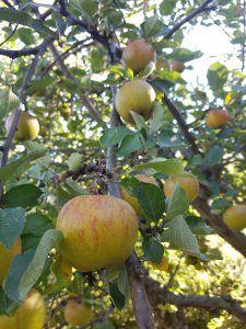 Hekkplanter for enhver smak, her er mine forslag. Apple, Apple Fruit, Apples