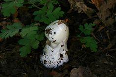 Mushroom - Amanita phalloides 16.JPG