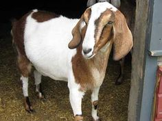 How to care for a goat's dry, scabby skin | Pearl.com (click for tips)