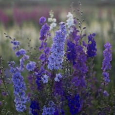 Cold tolerant, larkspur can be planted in fall in even the coldest corners of the world. Speed up germination by chilling seed in a refrigerator or freezer for a week before sowing.