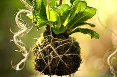 Cómo hacer un jardín de Kokedamas - plantas en bolas de musgo - Vida Lúcida
