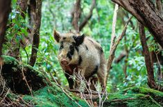 The Livestock Living at the End of the World - Gastro Obscura Feral pigs have caused havoc to the unique Auckland Islands environment. Feral Pig, Pig Breeds, What Happens When You, Nature Reserve, South Pacific, What Is Life About, Auckland, Livestock, Predator