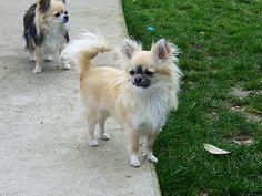 Longhair Chihuahua, so cute