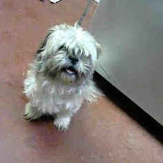 Pictures of OLIVER a Shih Tzu for adoption in Atlanta, GA who needs a loving home.