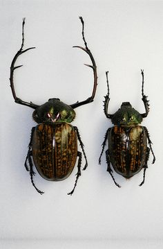 C. parryi | by NHM Beetles and Bugs