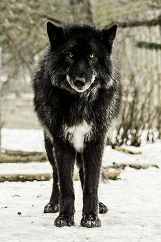 Coati Winchester's wolf form