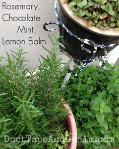 Rosemary, chocolate mint, lemon balm container gardening on our patio | DuctTapeAndDenim.com