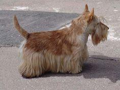 Scottish Terrier -- Wheaten color | Porodasobak_skotch-terier_Shotlandskii`