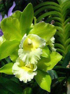 Hermosa Cattleya verde, perfecta en sus proporciones..!!