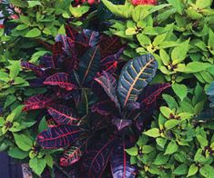 Croton | Tropical Punch - Gardening with Tropical Plants | University of Illinois Extension