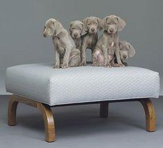 william wegman of coarse! William Wegman, Designer Dog Beds, Designer Dog Collars, Beautiful Dogs, Animals Beautiful, Cute Animals, Cute Puppies, Cute Dogs, Dogs And Puppies