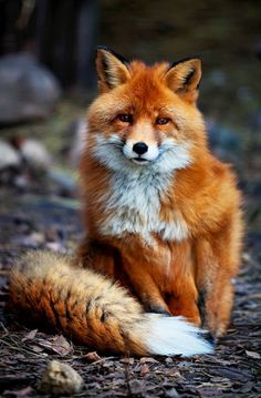darklittlefairy:  imprintx:  Fox by Wild and Wondrous  So fucking fluffffyyyyy