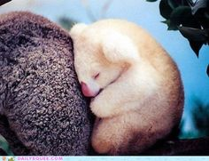 Albino Baby Koala and his little pink nose.
