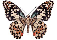 Whole Butterfly! : Whole Butterfly! Butterfly Drawing, Butterfly Painting, Butterfly Wallpaper, Butterfly Wings, Butterfly Colors, Monarch Butterfly, Beautiful Butterflies, Beautiful Creatures, Art Inspo