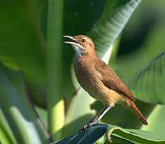 The Rufous Hornero, or the Red Ovenbird, is the national bird of Argentina. *What do you hear?*