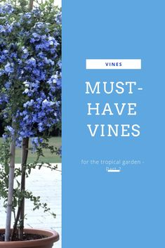 Vines are a staple for tropical gardening. Check out Part 2 of our series on the vines you shouldn't live without when you're gardening exotic style! Small Tropical Gardens, Tropical Plants, Wall Colour Texture, Weeping Trees, Ficus Pumila, Growing Grass, Garden Landscape Design, Landscape Designs, Green Plants