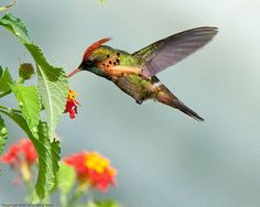 Pretty Birds! - By geoff-e Male Tufted Coquette Hummingbird