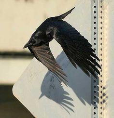 crow. flight.