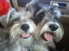 Sandee and Izzee. Mini Schnauzers love!
