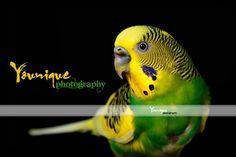 Pretty green parakeet