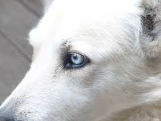 Image result for dog with blue eyes