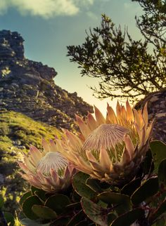 Lighting and composition in this photo - awesome! Overseers - Table Mountain, South Africa by Stefan Olivier, via Behance Protea Flower, Protea Plant, Namibia, Table Mountain, Out Of Africa, All Nature, Fauna, Africa Travel, Cape Town